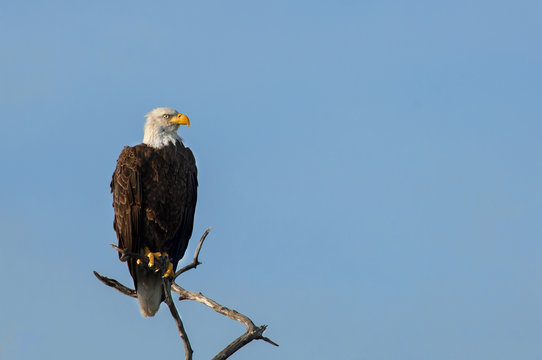 A mature bald eagle perched on a branch at Wiggins Pass, Naples, Florida.
