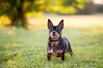 Black and tan Chihuahua dog standing on green grass at golden sunset