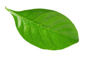 Gardenia leaf on white background