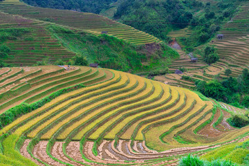 Tuinposter Rijstvelden Terraced rice field in harvest season in Mu Cang Chai, Vietnam.
