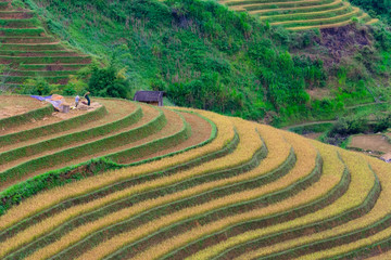 Printed roller blinds Rice fields Terraced rice field in harvest season in Mu Cang Chai, Vietnam.