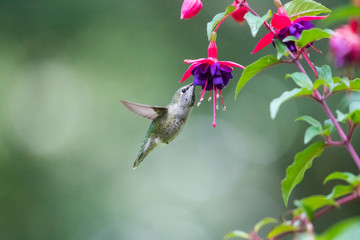 Calliope hummingbird feeds on the nectar of fuchsia flowers