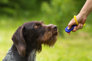 training a hunting dog with a clicker