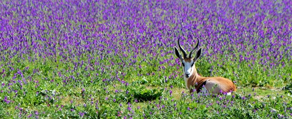 Close up of a little Springbok antelope on a blue meadow full of flowering echium