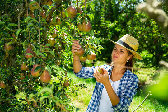 Woman picking pears in orchard