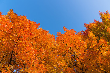 Red maple tree with golden sunlight and blue sky background, Japan.Red maple leaves/ branches in autumn season isolated on white background