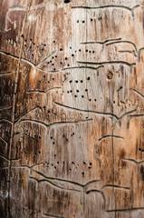 Abstract textured background on a tree trunk eaten by a woodworm. Wormholes pattern. Top view. Close-up