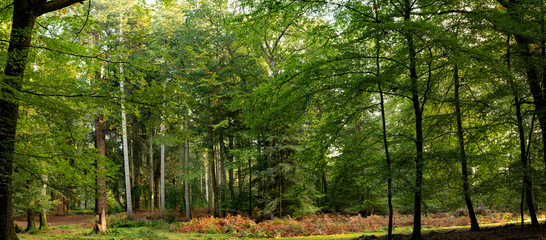 Panoramic photography of trees in new forest national park during early autumn season