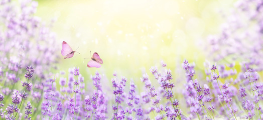 Wide field of lavender in summer morning, panorama blur background. Spring or summer lavender background with butterflies. Shallow depth of field. Selective focus on lavender flowers lit by sunlight