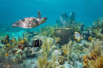 Foto op Plexiglas Schildpad Caribbean coral reef underwater with a green sea turtle and tropical fish, Martinique, Lesser Antilles