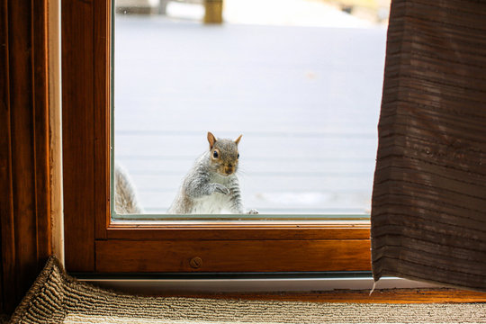 Squirrel looking inside home through slider door