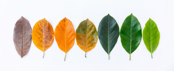 Wall Mural - Closeup leaves in line different color and age of the jackfruit tree leaves. Line of colorful dry leaves in autumn season. For environment changed concept. Top view or flat lay background banner.