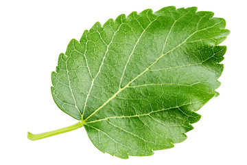 mulberry leaf clipping path