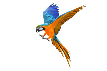 Fond de hotte en verre imprimé Perroquets Colorful flying parrot isolated on white, Freedom concept