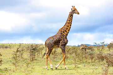 Foto auf Gartenposter Giraffe Adult giraffe in the African savannah, Ngorongoro National Park, Tanzania. A nice day of photographic safari in Africa. Wild tourism