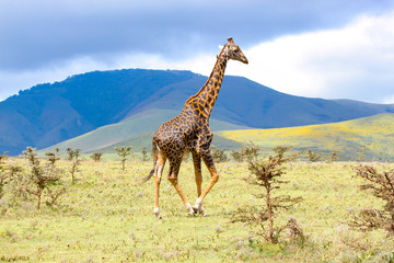Foto auf Gartenposter Giraffe Adult giraffe in the African savannah, Ngorongoro National Park, Tanzania. A beautiful day of photographic safari in Africa. Wild tourism