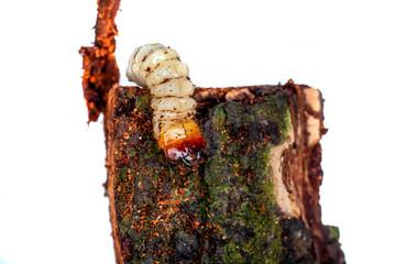 borkenkäferlarve