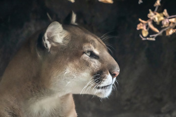 Portrait of a Mountain Lion, Quebec, Canada