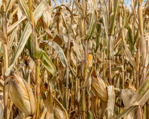 Mature ear of corn drying on cornstalk. Husk open exposing golden yellow kernels on cob. Sunny fall day during harvest season in the Midwest