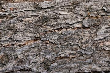 Tree bark texture close up background.