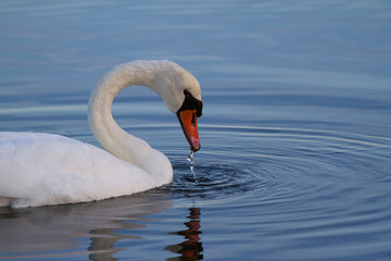 Foto op Aluminium Zwaan Photo of a white swan looking for food in the Grado Lagoon (Italy) 2