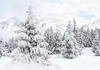 Winter landscape of mountains with of fir forest in snow. Carpathian mountains. Ukraine