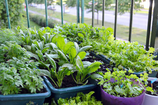 Small garden on a balcony of a block house at the European city. Vegetables and herbs growing in plant boxes and flower pots. Healthy and ecological food concept in the urban environment.