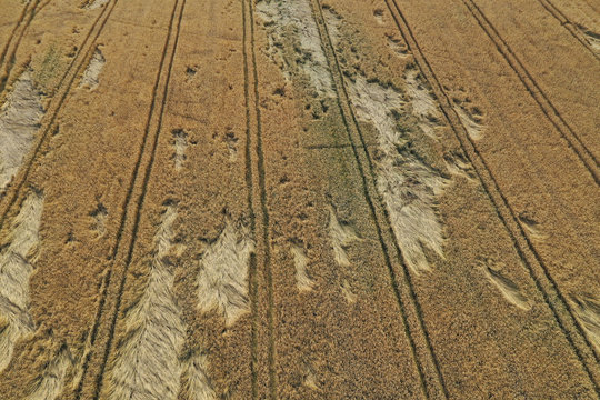 Aerial drone perspective on damaged wheat field after wind storm, rural landscape