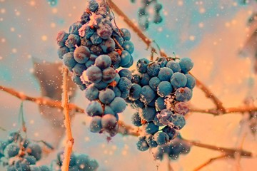 Freez bunch of grapes at winter, DOF is shalow Fototapete