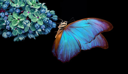 Beautiful blue morpho butterfly on a flower on a black background. lilac flower in dew drops isolated on black. lilac and butterfly. copy spaces.