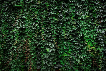 Large archival old wall covered with lush green ivy plants (high details). Wall mural