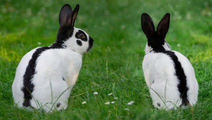 a black and white rabbit is sitting in grass