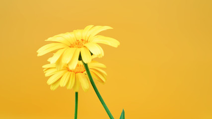 Foto op Canvas Gerbera two yellow Daisy flowers on a yellow background close up