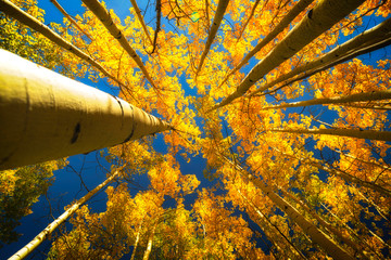 Looking up into the Aspen Grove Trees