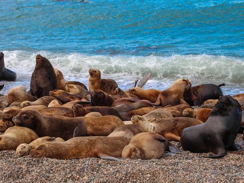 Banho de sol dos leões Marinhos na praia