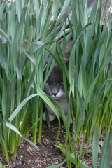 kitty cat tiger in the grass springtime daffodils outdoor cat