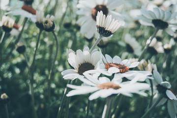 daisy flower background montains garden