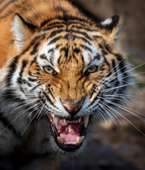 Foto op Plexiglas Tijger Close up view portrait of a Siberian tiger