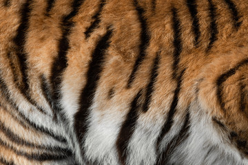 Fototapete - Real skin texture of Tiger