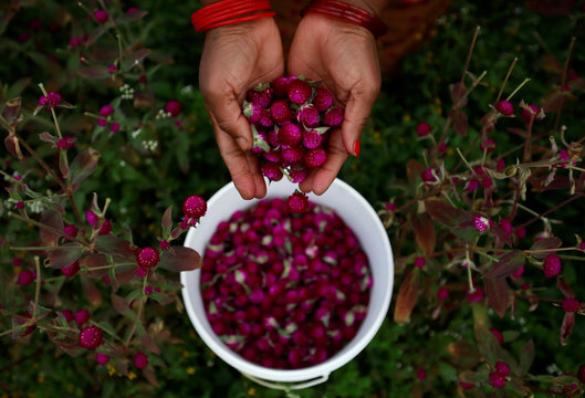 A hand of a woman is pictured as she collects globe amaranth flowers, used to make garlands and offer prayers, before selling them to the market for the Tihar festival, also called Diwali, in Bhaktapur