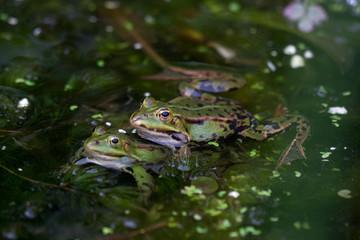 Printed roller blinds Frog Groene kikker koppel