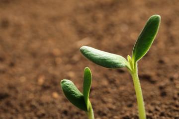 Little green seedlings growing in soil, closeup view
