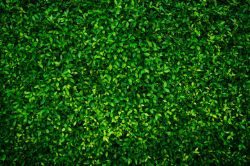 Small green leaves texture background with beautiful pattern. Clean environment. Ornamental plant...
