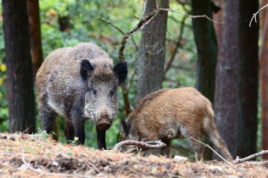 Wildschweine im Wald