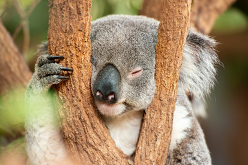 Photo sur Toile Koala Australian koala outdoors. Queensland, Australia