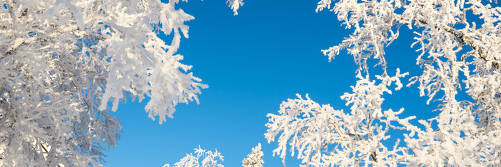 Wall Mural - Snowy trees from below agoinst blue sky, winter panoramic background with copy-space
