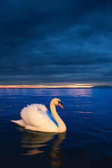 Foto op Canvas Zwaan swan at blue hour