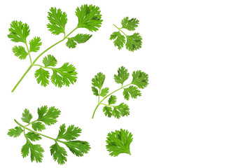 cilantro or coriander leaves isolated on white background with copy space for your text. Top view. Flat lay pattern
