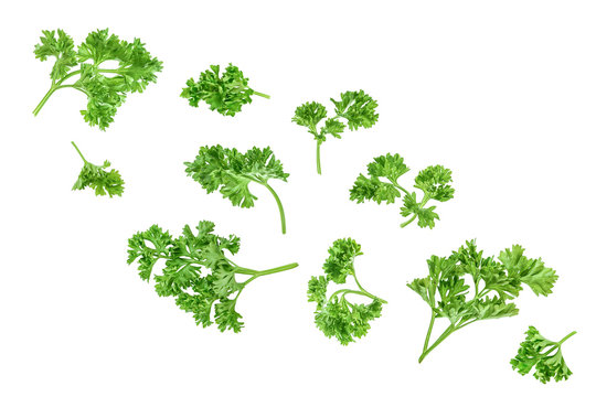 Curly parsley isolated on a white background, Top view. Flat lay.