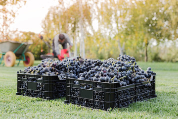 Baskets of Ripe bunches of black grapes outdoors. Autumn grapes harvest in vineyard on grass ready to delivery for wine making. Cabernet Sauvignon, Merlot, Pinot Noir, Sangiovese grape sort in boxes. Fototapete